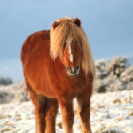 Chestnut with flaxen mane