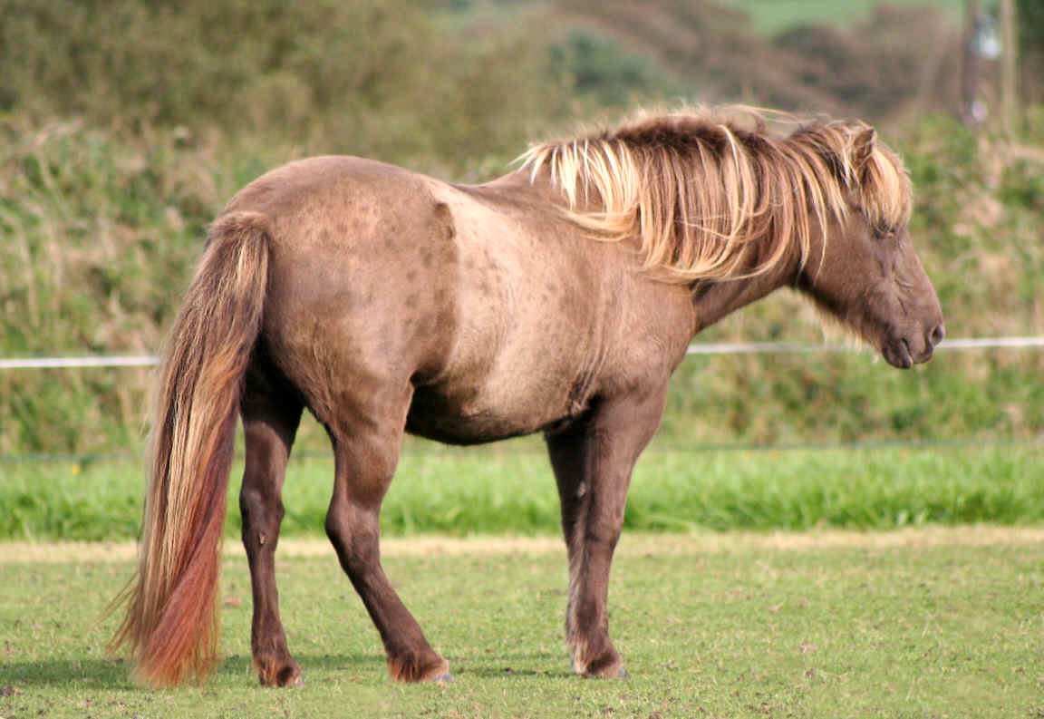 Icelandic Horse Society Of Great Britain Ihsgb 187 H6