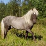Silver dapple blue roan
